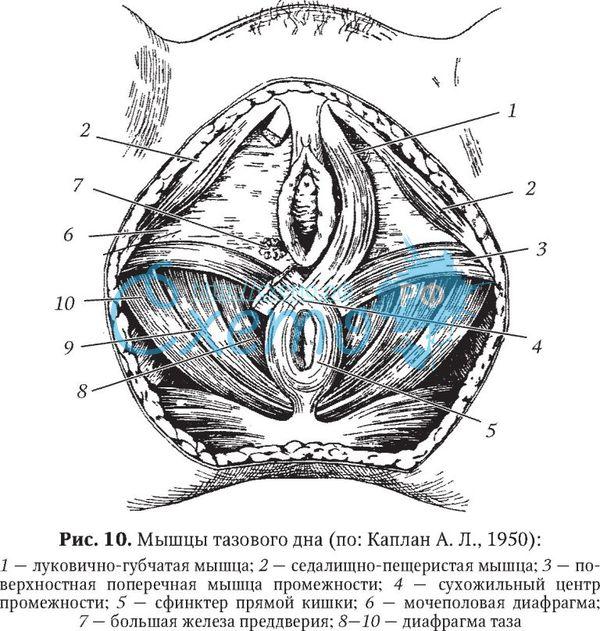 Оргазм напрягать мышцы таза