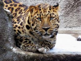 В Московском зоопарке поселился дальневосточный леопард