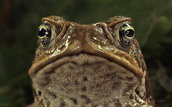 Тростниковые жабы: Оккупация 3D смотреть фото
