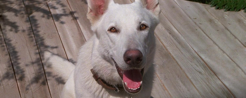 «Белая собака» Сэмюэля Фуллера