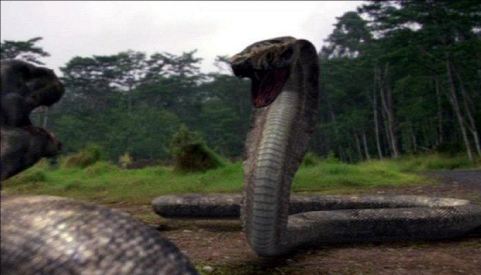 Кино: «Комодо против кобры»